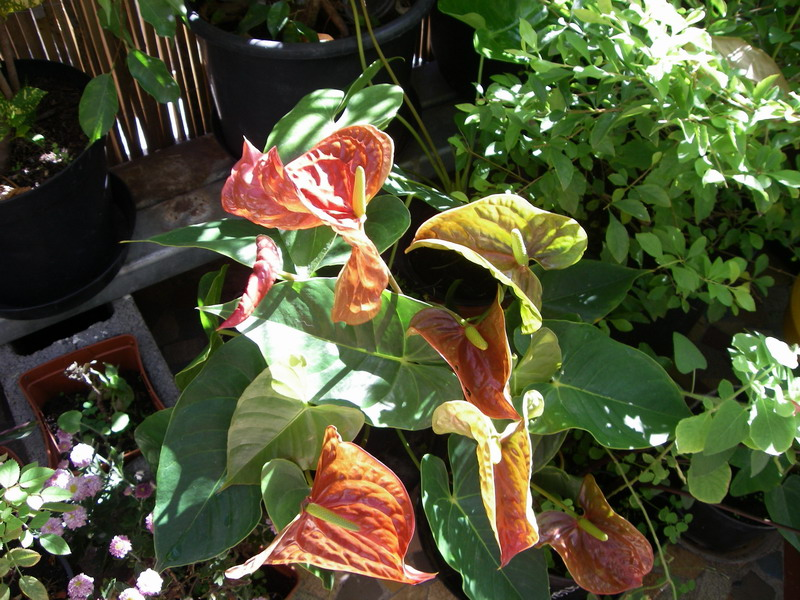 Growing anthuriums in pots 28 images water and met on for Jardin 974